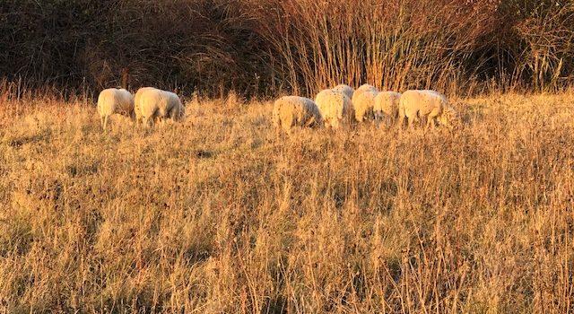 Riesen-Schaf in Heimerode entdeckt!